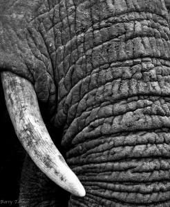 Elephant in Black & White