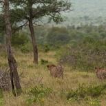 Two Cheetah Hunting