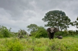 Elephant Trumpeting