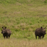 Rhinos in the Kruger National Park, South Africa