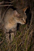 An African Wildcat during a night drive in The Kruger National Park, South Africa