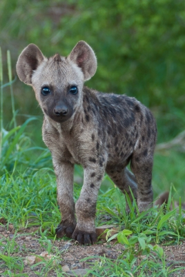 Adorable Baby Spotted Hyaena Poses at the side of the road in The Kruger National Park, South Africa