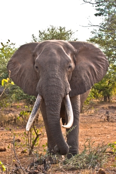 Big Tusker Elephant in The Kruger National Park, South Africa