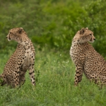 Two Cheetah scanning for Dangers after making a kill in Kruger National Park, South Africa