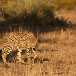 Locking Eyes With A Cheetah, Kruger Park South Africa