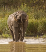 Elephant Drinking in Kruger National Park, South Africa