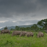 Five Rhino graze in a row on a stormy afternoon