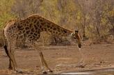 Giraffe Drinking Water, Kruger Park, South Africa