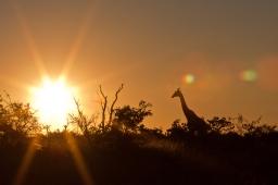 Giraffe walks into the sunset in Mashatu, Botswana