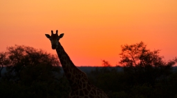 Giraffe Silhouetted by a typical African Sunset in Kruger National Park, South Africa