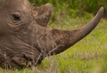Close up of a Rhino as he Grazes