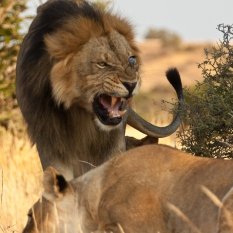 A Large Male Lion which is blind in one eye growls at a female in Mashatu Game Reserve, Botswana