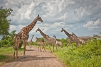 Herd of Giraffe in Hluhluwe-iMfolozi National Park, South Africa