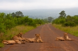 A pride of Lions lazes in the road on a misty early morning in Kruger National Park, South Africa