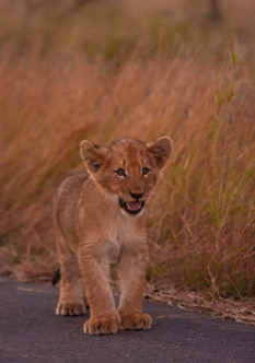 Lion Cub Calling it's Mother, Kruger Park, South Africa