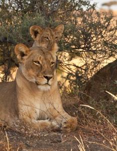 Lioness and Cub Posing in Mashatu Game Reserve, Botswana