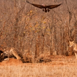 A Lioness Charges from the bushes to chase vultures off it's giraffe kill, Kruger Park, South Africa