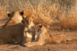 Lioness with Playful Cubs in Mashatu, Botswana