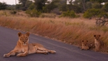 A lioness and cubs block the road in Kruger National Park, South Africa