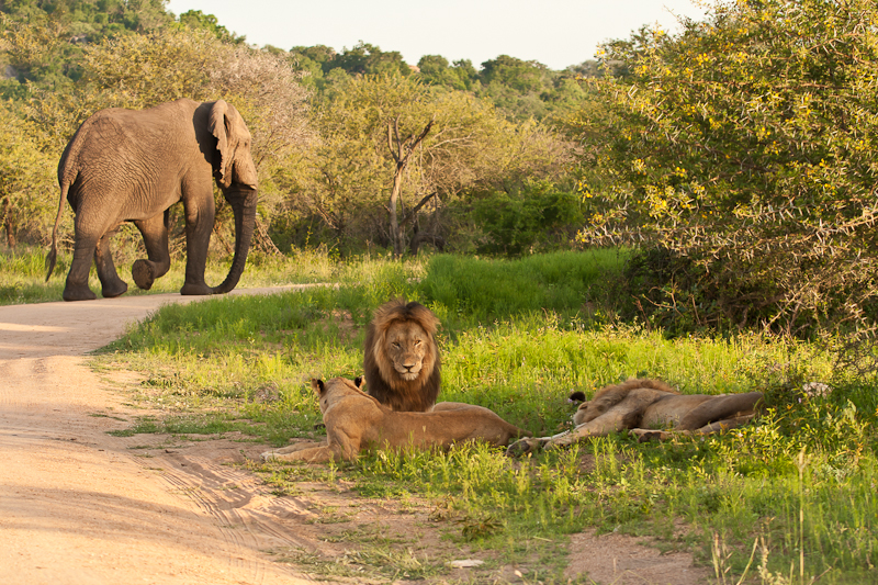 Male Lion settles back down with the pride having just been disturbed by an Elephant