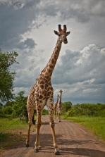 Male Giraffe approaches our car in Hluhluwe-iMfolozi National Park