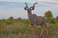 Majestic Male Kudu poses in soft afternoon light in The Kruger National Park, South Africa