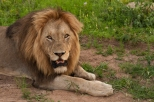 Male Lion Gazes at the Camera having just been disturbed by an Elephant