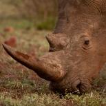 Close up of a Rhino as he Grazes