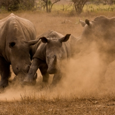 Three Rhinos kick up the dust as the fight with each other in Kruger National Park, South Africa