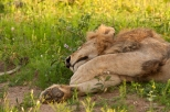 Sleeping Male Lion in Kruger National Park, South Africa