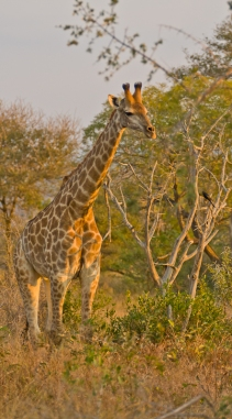 Young Giraffe in Beautiful Golden Morning Light. Kruger National Park, South Africa
