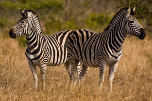 Two Zebras looking out for predators in The Kruger National Park, South Africa